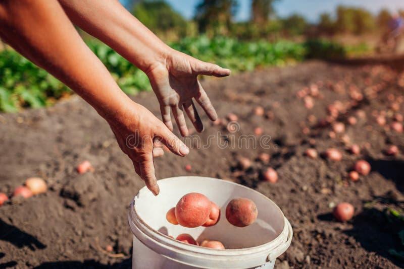 Mulher agricultora colhendo batata e jogando no balde no campo Colheita de batata de colheita de outono Agricultura foto de stock