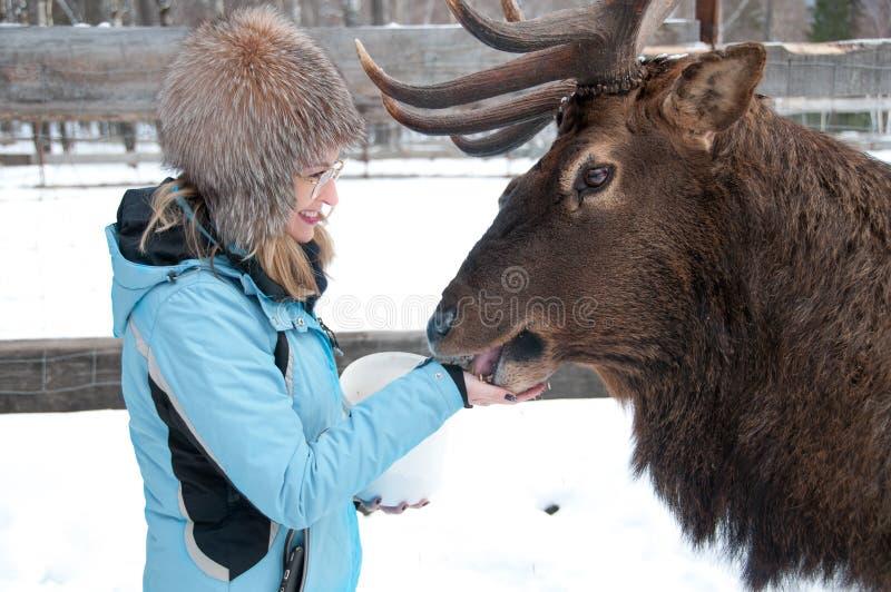 A mulher alimenta a Maral A grandes cervos Siberian com os chifres grandes no inverno foto de stock royalty free