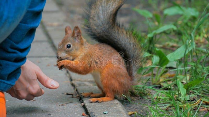 A mulher alimenta o esquilo no parque foto de stock