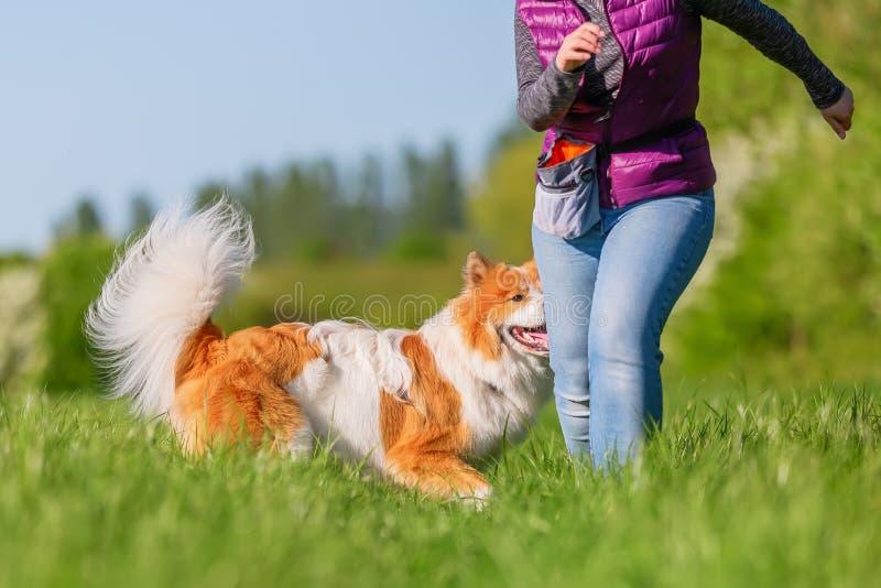 A mulher anda com um cão de Elo em um prado imagem de stock royalty free
