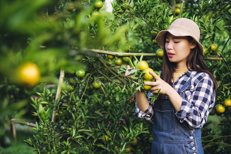 Mulher asiática atrativa nova que colhe o fruto alaranjado na exploração agrícola orgânica foto de stock