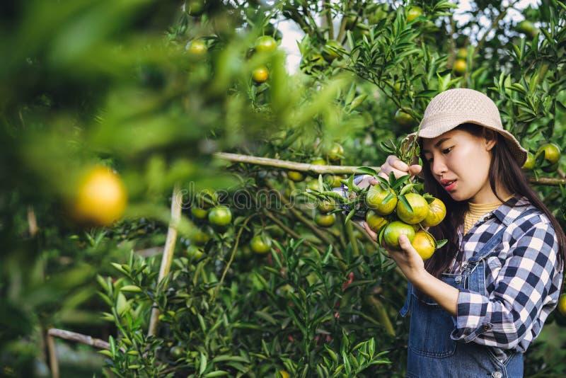 Mulher asiática atrativa nova que colhe o fruto alaranjado na exploração agrícola orgânica fotografia de stock