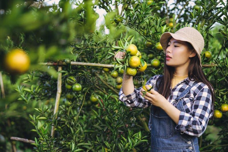Mulher asiática atrativa nova que colhe o fruto alaranjado na exploração agrícola orgânica foto de stock royalty free