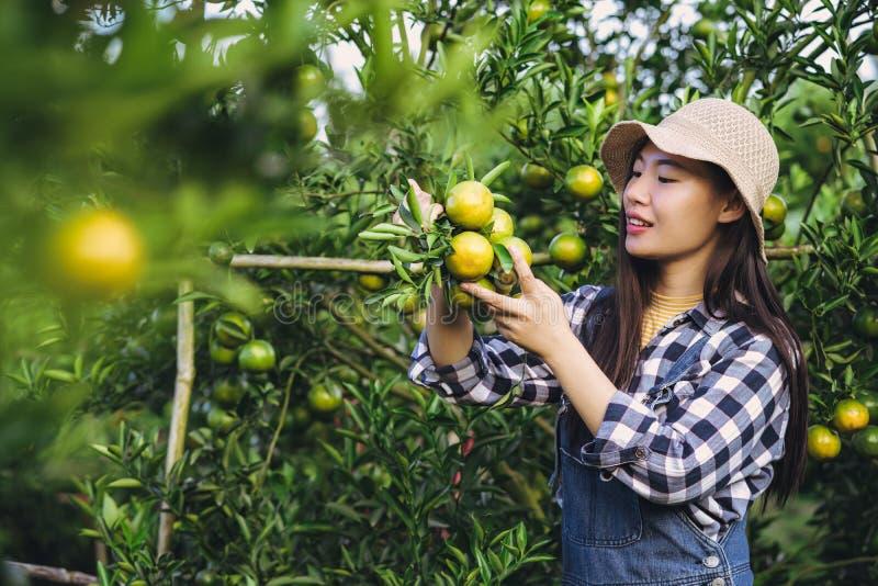 Mulher asiática atrativa nova que colhe o fruto alaranjado na exploração agrícola orgânica imagens de stock royalty free