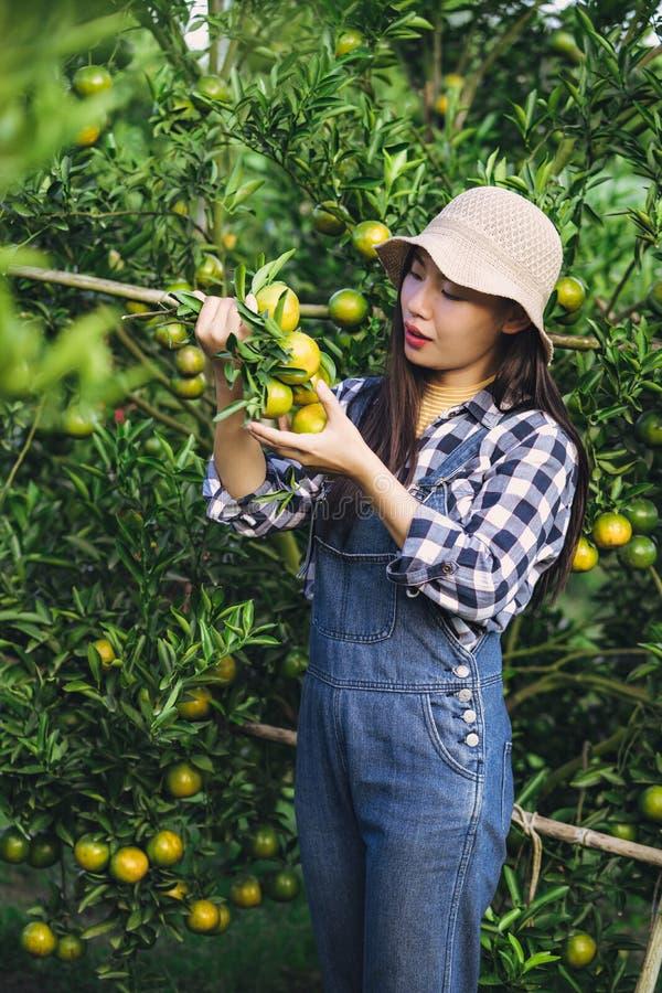 Mulher asiática atrativa nova que colhe o fruto alaranjado na exploração agrícola orgânica fotos de stock royalty free