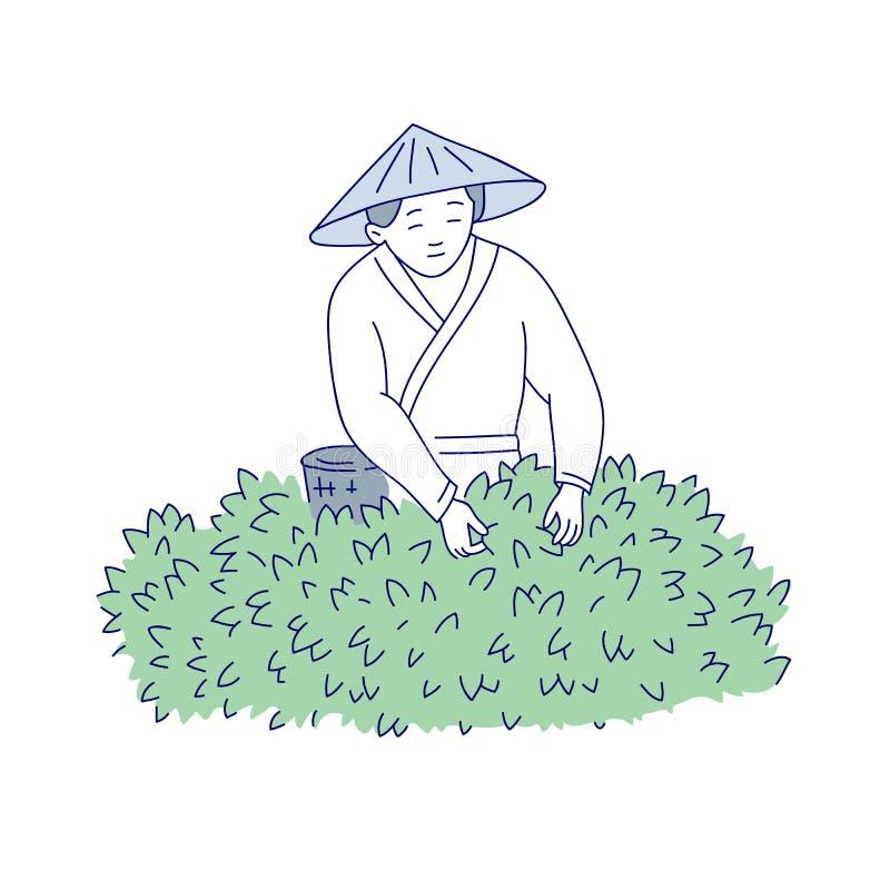A mulher asiática colhe as folhas de chá do arbusto Linha pessoa do vetor da arte na cultura agrícola chinesa do traje tradiciona ilustração do vetor