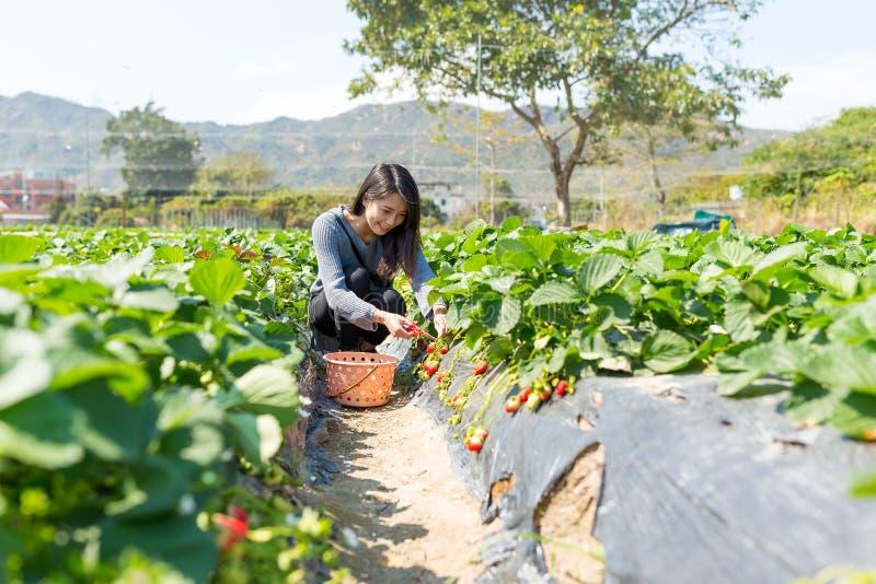 A mulher asiática pegara a morango no campo foto de stock