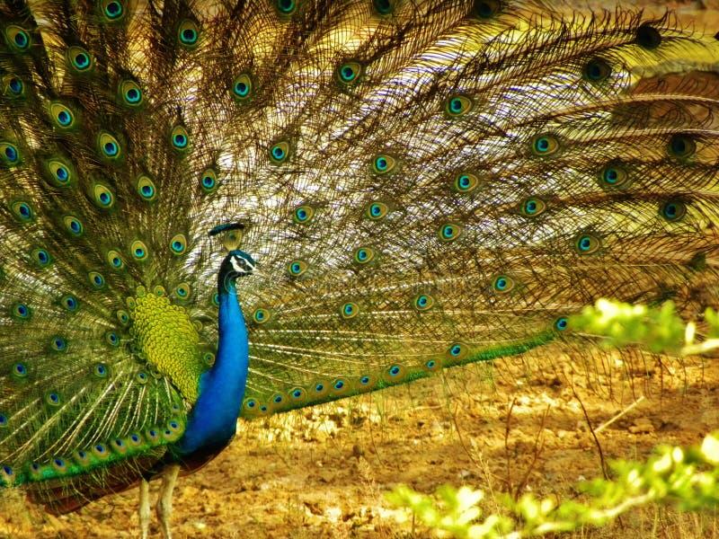 Mulher atrativa que mostra a dança do pavão foto de stock royalty free