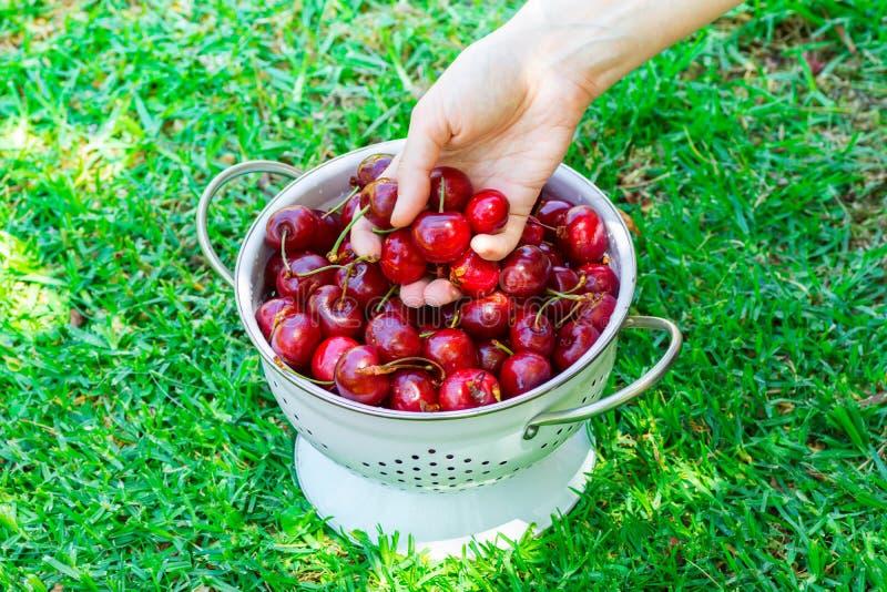 A mulher caucasiano nova guarda o punhado de orgânico suculento maduro escolheu recentemente cerejas doces sobre o escorredor do  foto de stock