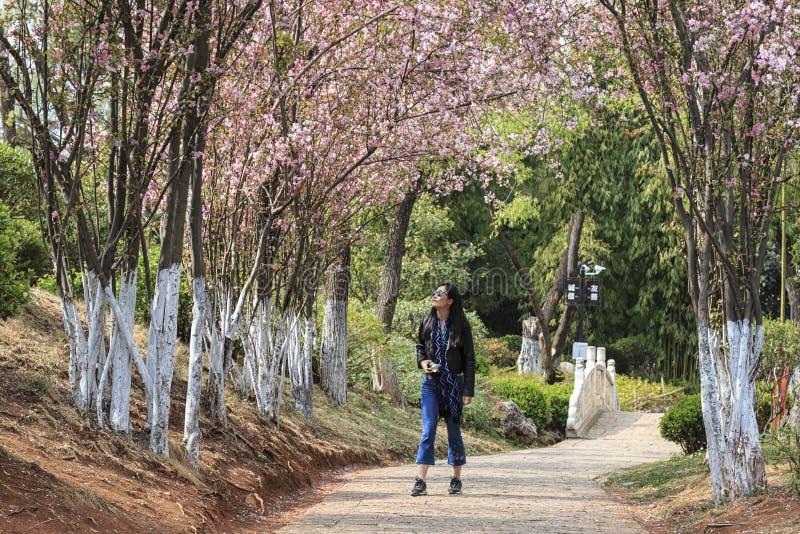 Mulher chinesa nova atrativa que anda sob árvores de cereja na flor do tolo em Lijiang, Yunnan - China fotos de stock
