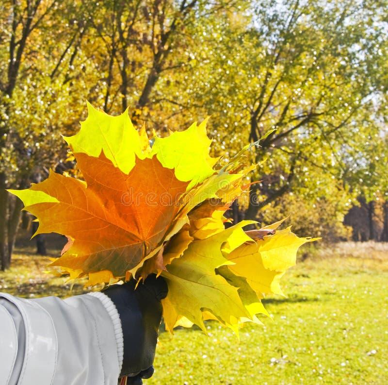 Mulher com as folhas do amarelo do bordo fotografia de stock royalty free