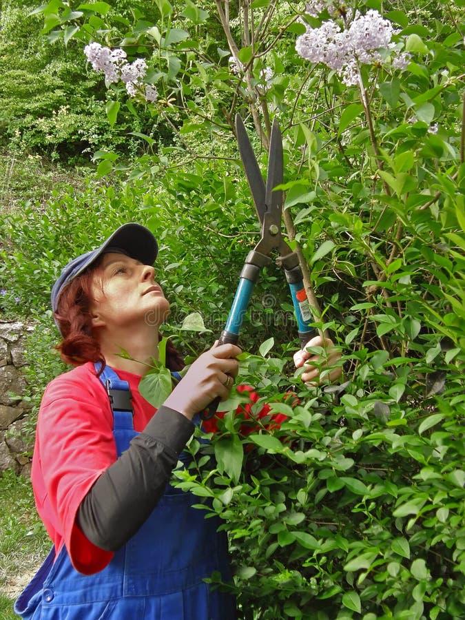 A mulher com tesouras regula a árvore do lilac imagens de stock royalty free