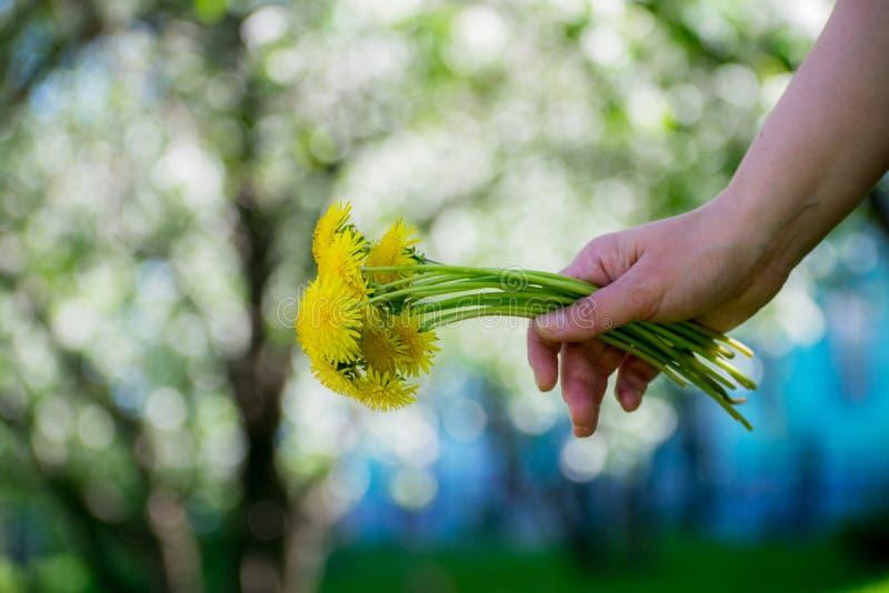 Mulher com um ramalhete de dentes-de-leão amarelos Close-up da mão com flores foto de stock
