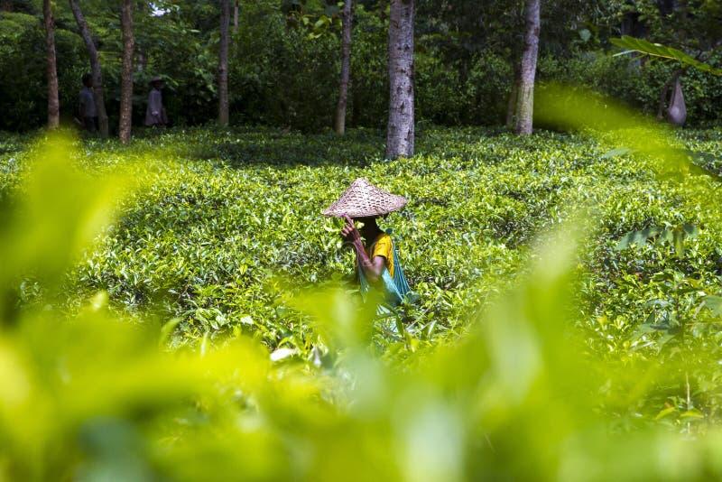 Mulher de funcionamento no jardim de chá em Moulovibazar, Bangladesh imagem de stock