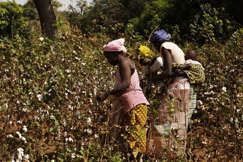 Mulher de três africanos que colhe algum algodão em um campo imagens de stock royalty free