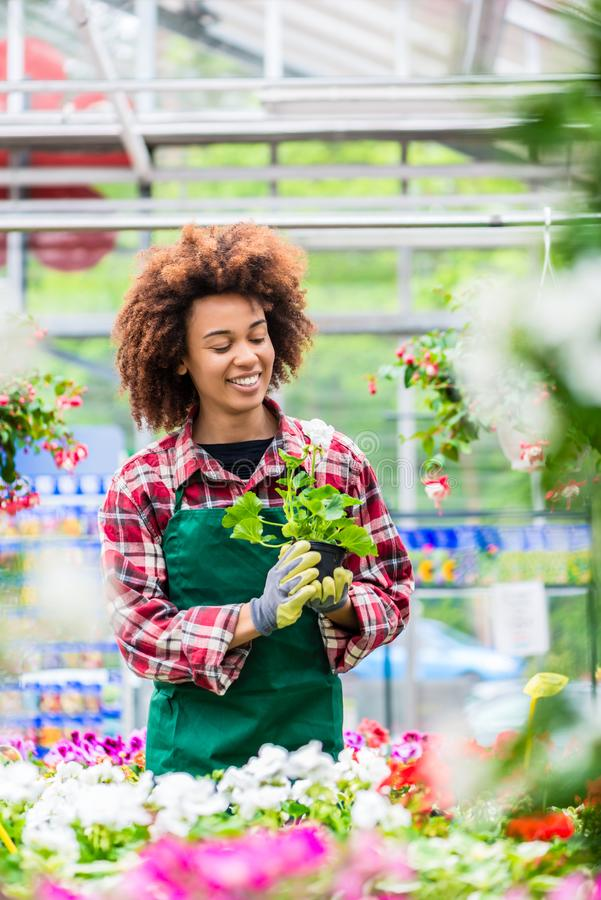 Mulher dedicada que guarda uma planta em pasta durante o trabalho como o florista foto de stock royalty free