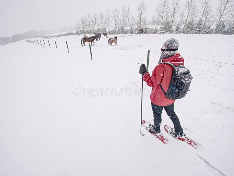 A mulher do corpo de esporte está caminhando na exploração agrícola do cavalo com sapatos de neve foto de stock royalty free