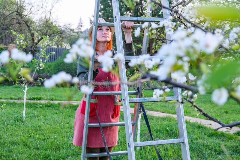 Mulher do fazendeiro acima em uma escada para a ?rvore de ma?? de floresc?ncia do cuidado em um dia de mola bonito fotos de stock royalty free