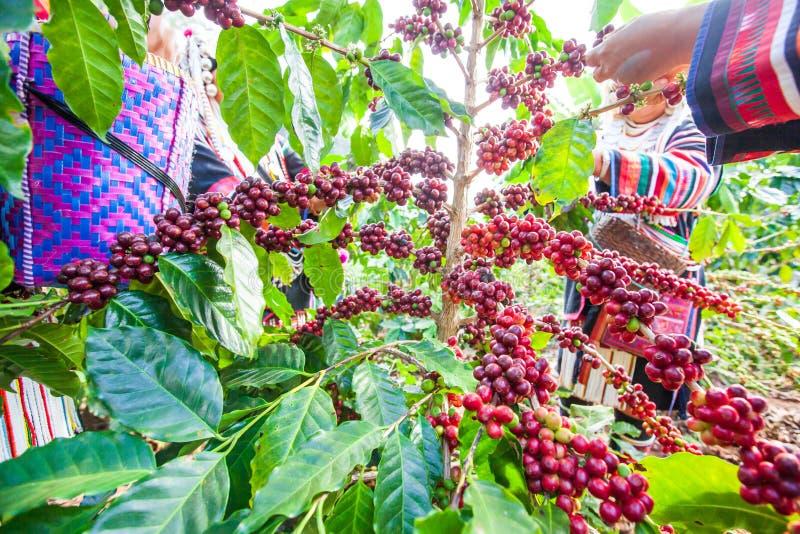 Mulher do fazendeiro de Akha do tribo que colhe bagas de café da goma-arábica no imagens de stock
