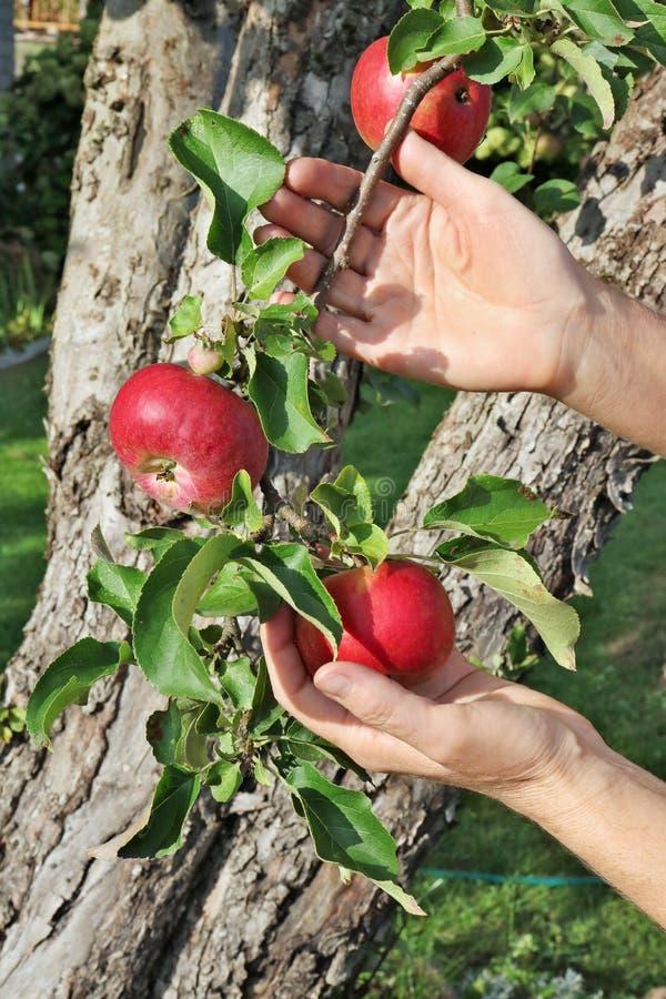 A mulher do fazendeiro está guardando maçãs maduras vermelhas em ramos em olá! imagem de stock royalty free