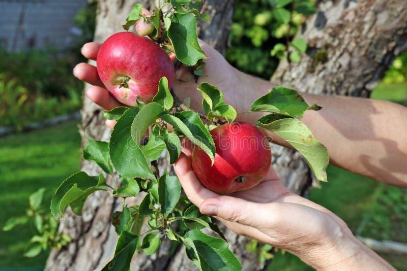 A mulher do fazendeiro está guardando maçãs maduras vermelhas em ramos em sua mão fotos de stock