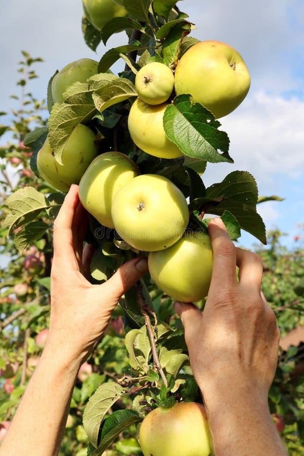 A mulher do fazendeiro que rasga maçãs maduras para ramos com mãos fotos de stock royalty free