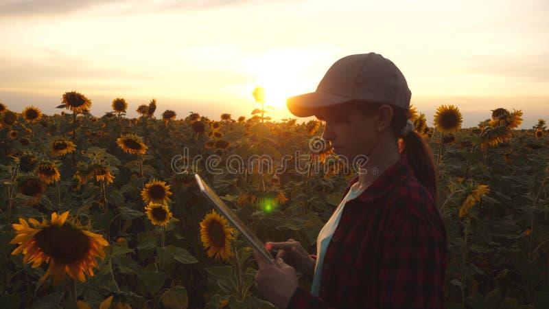 Mulher do fazendeiro que trabalha com uma tabuleta em um campo do girassol na luz do por do sol O agrônomo estuda a colheita do g imagens de stock