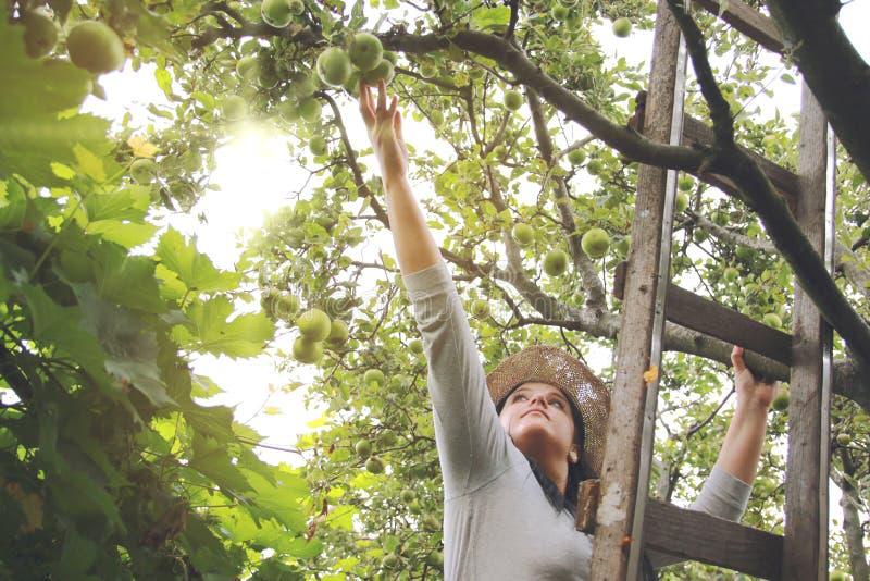 A mulher do jardim está pegarando maçãs na escada imagens de stock royalty free