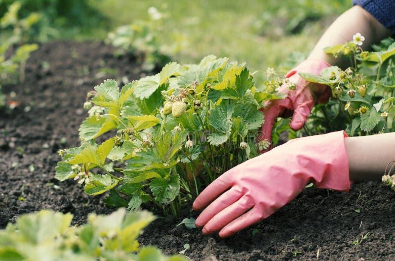 A mulher do jardim está removendo ervas daninhas de uma cama vegetal imagem de stock