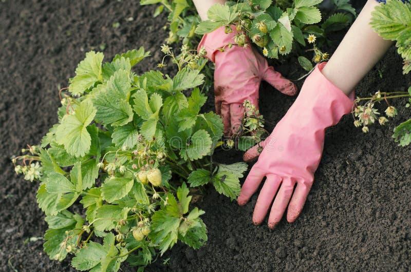 A mulher do jardim está removendo ervas daninhas de uma cama vegetal foto de stock