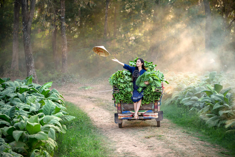 A mulher do Lao está cultivando no campo da folha do cigarro Relaxamento no tob imagens de stock
