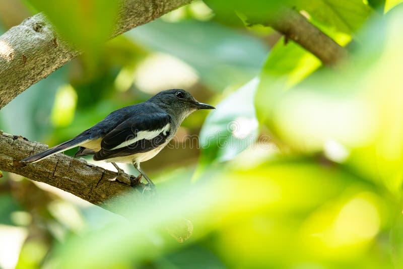 Mulher do Magpie Oriental Robin, em movimento no ramo da Apple Malay fotos de stock