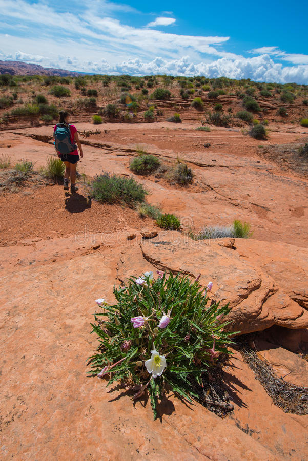 A mulher do mochileiro do caminhante e o deserto selvagem florescem Escalante Utá fotos de stock