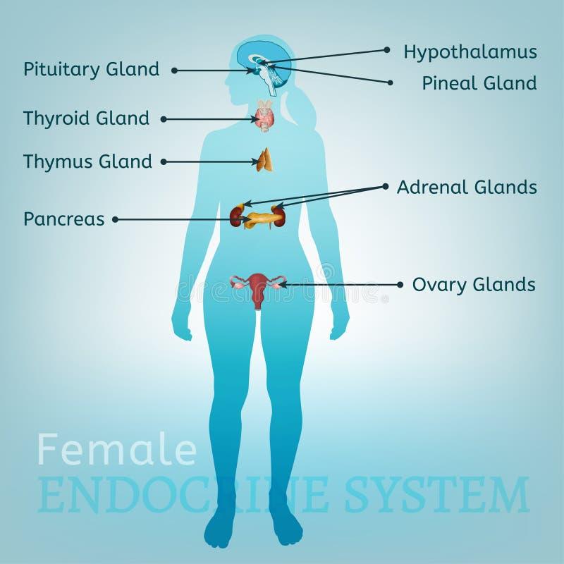 Mulher do sistema de glândula endócrina ilustração do vetor