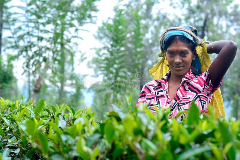 A mulher do Tamil de Sri Lanka quebra as folhas de chá imagem de stock