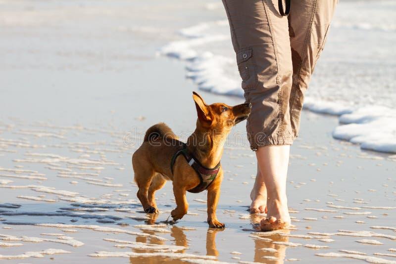 Mulher e seu cão pequeno bonito que andam para colocar saltos na praia imagem de stock royalty free