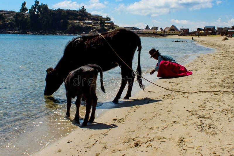 Mulher e vacas bolivianas no lago do titicaca fotografia de stock royalty free