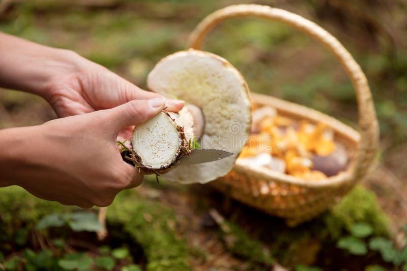 Mulher eduls de limpeza de um boleto, cesta com os cogumelos selvagens no th imagens de stock royalty free