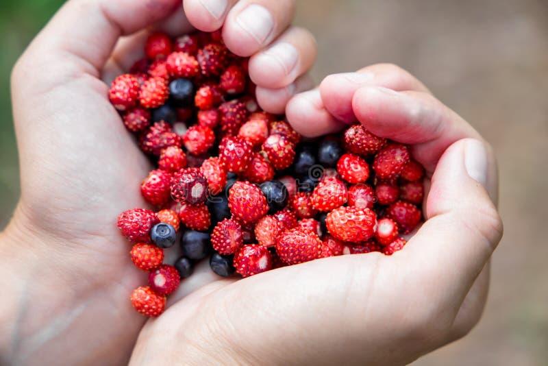 A mulher entrega guardar bagas frescas maduras da floresta do punhado na forma do coração Mirtilo e morango silvestre na palma hu fotografia de stock