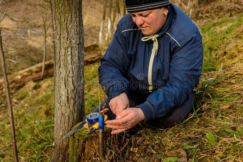 A mulher envolve uma ?rvore do enxerto com uma fita de isolamento no jardim para deter a umidade nela no close-up imagens de stock