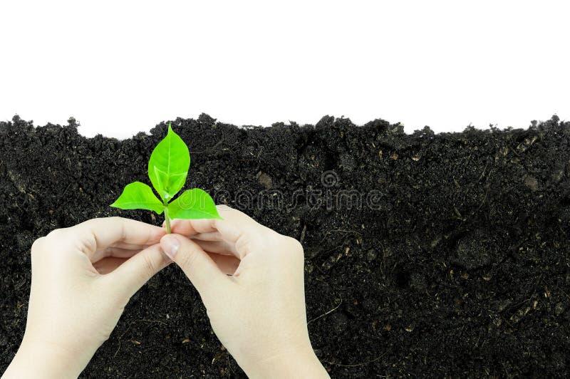 A mulher está guardando o broto da planta nova que cresce em uma protuberância do solo, isolado em um fundo branco fotografia de stock