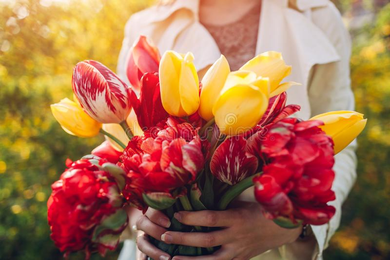 A mulher guarda um ramalhete de tulipas coloridas Presente para o dia do ` s da m?e fotografia de stock royalty free