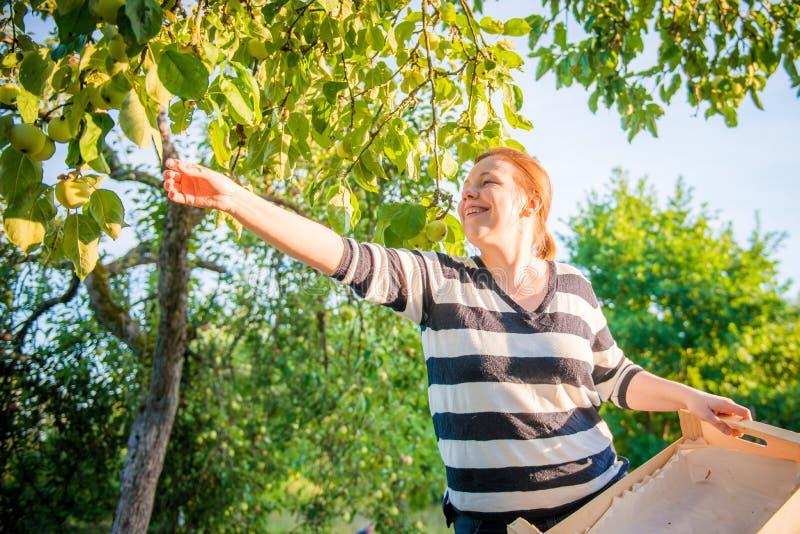 Mulher  maçãs da colheita imagem de stock