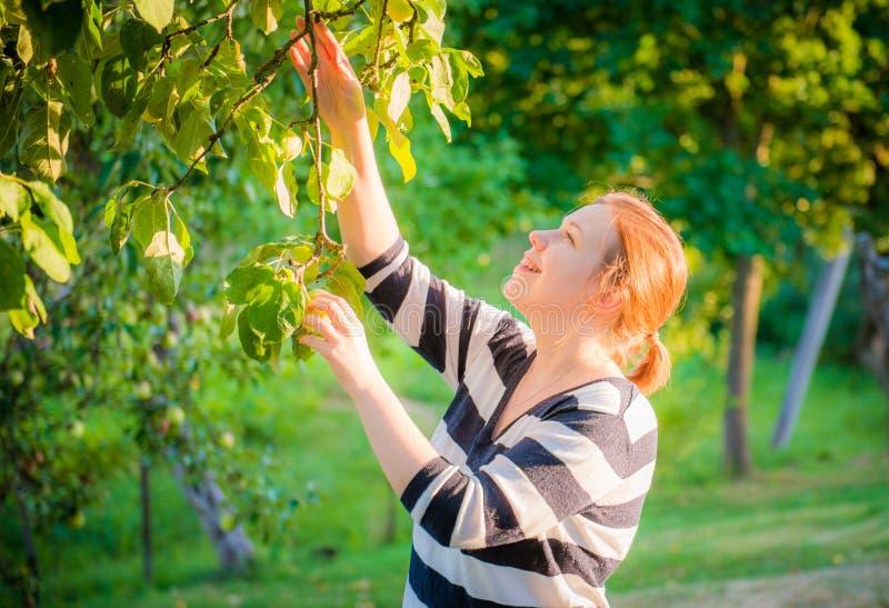 Mulher  maçãs da colheita imagens de stock