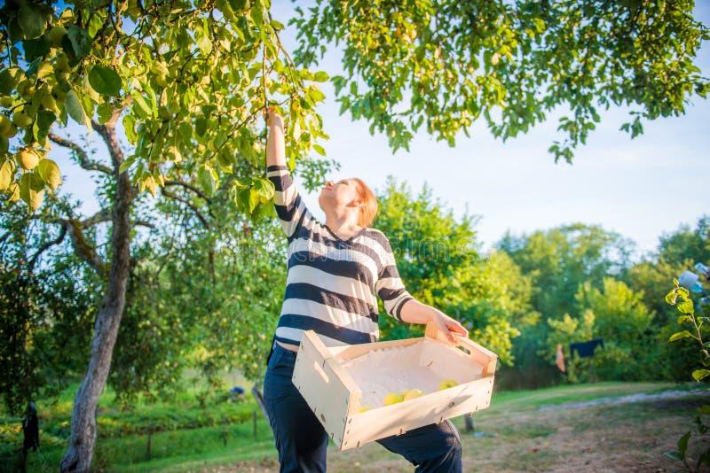 Mulher  maçãs da colheita foto de stock