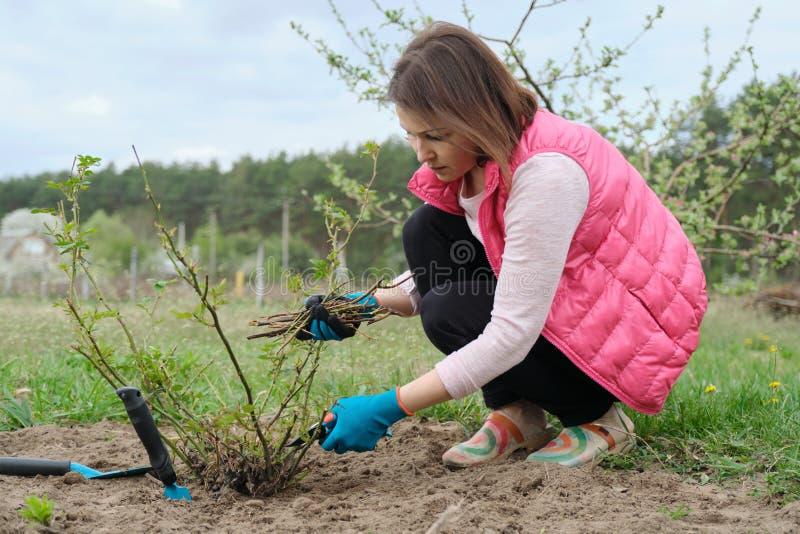 Mulher madura nas luvas que poda arbustos cor-de-rosa com secateur do jardim, jardinagem da mola imagens de stock