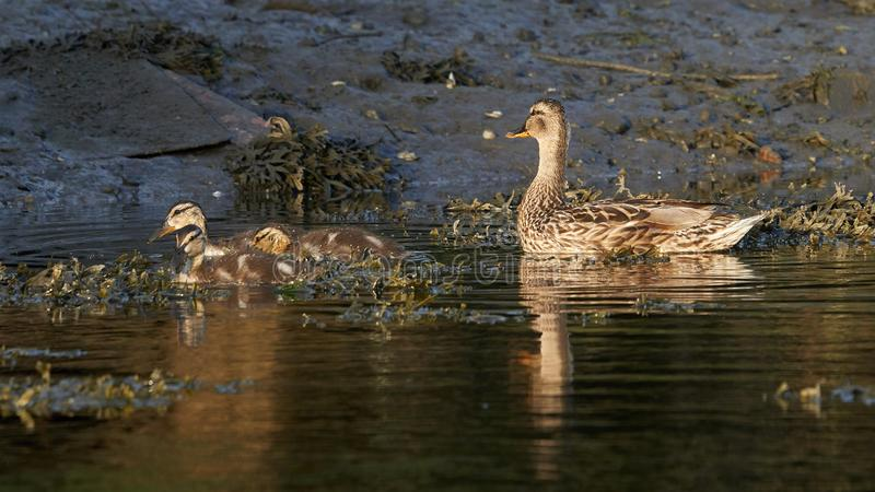 Mulher Mallard e Ducklings Nadam imagens de stock