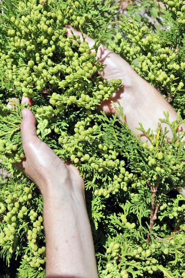 A mulher - o fazendeiro importa-se os ramos sempre-verdes da conversão da árvore do thuja fotografia de stock royalty free