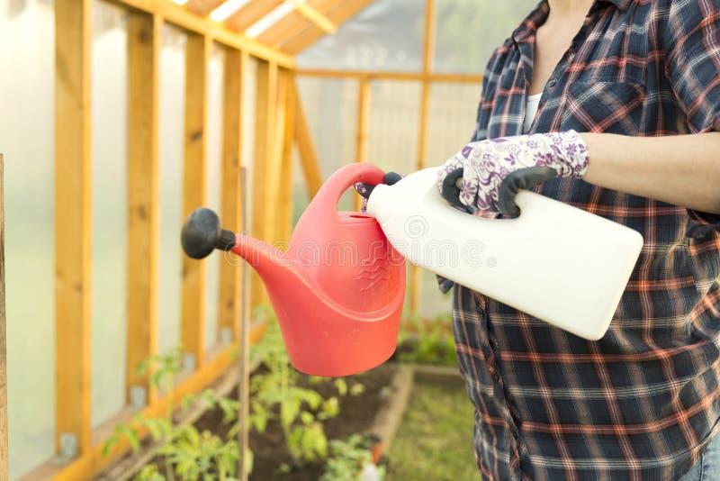 Mulher que adiciona o fertilazer do toamtoe na lata molhando Planta de tomate fotografia de stock royalty free