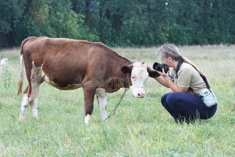 Mulher que afaga uma vitela pequena foto de stock